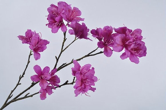 Rhododendron tak Fuchsia