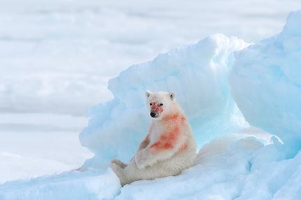 Young polar bear cub covered in blood, Svalbard