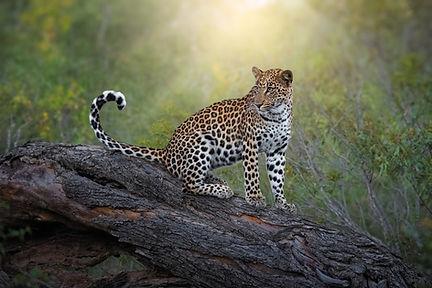Female leopard in South Africa