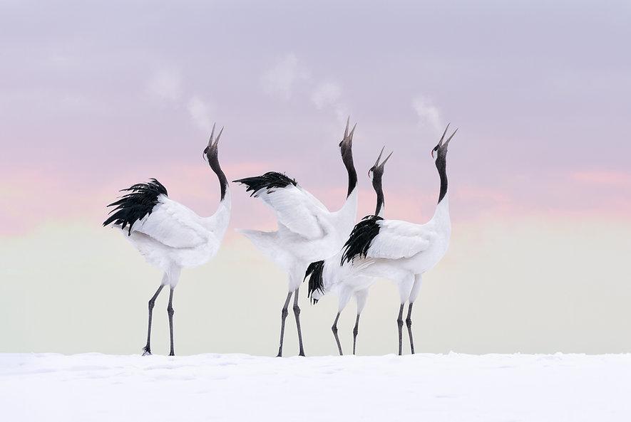 Japanese cranes at sunset