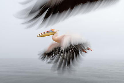 Great white pelicans, Namibia