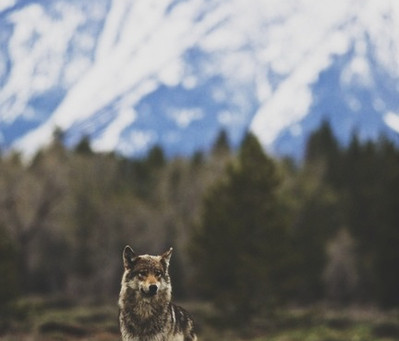 Let Go And Grow – a Wolf's Message