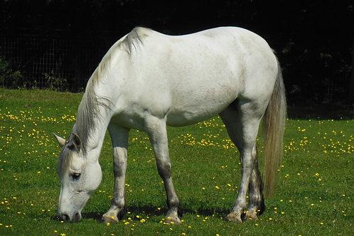 Sponsor A Pony - Bella