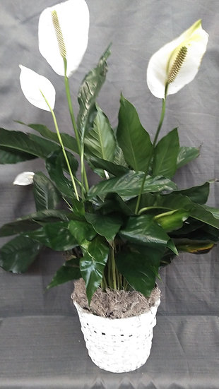 "8"" Spathiphyllum  (Peace Lily)"