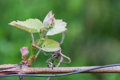 Weinblütenstand40037277_s.jpg