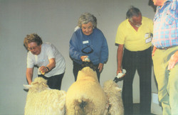 1997 Activities Cooma Trip feeding sheep