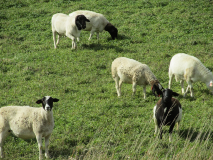 kathadhin hair sheep.png