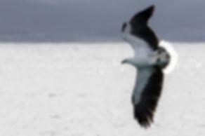 Sea Eagle1a Bicheno.jpg