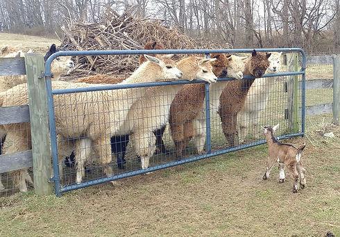 alpacasJudgingGoat.jpeg