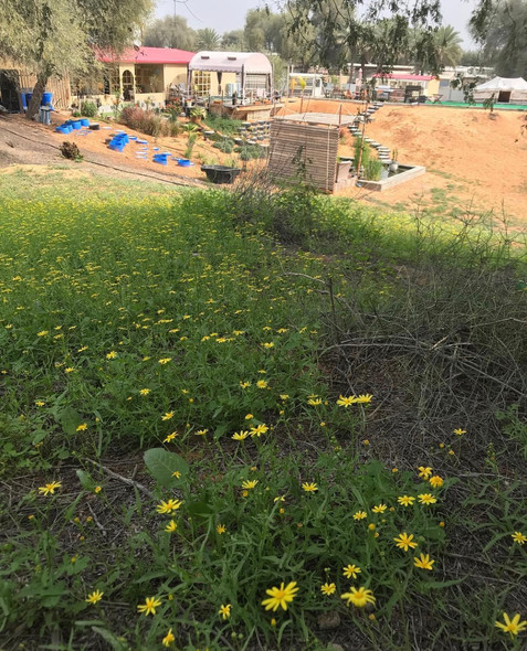 Springtime at the Camp.  The best time to stay here is from January to April.  With a little bit of rain, the entire camp goes green, all 9 acres of it. Here is a photo of the Arabian Buttercups (that's what we call them) that bloom everywhere, truly pretty.