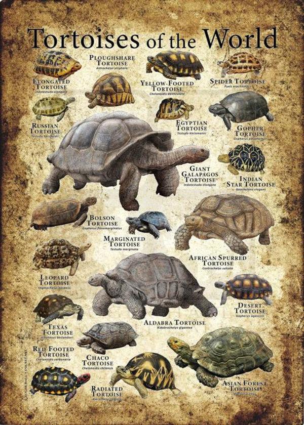 tortoise poster.jpg