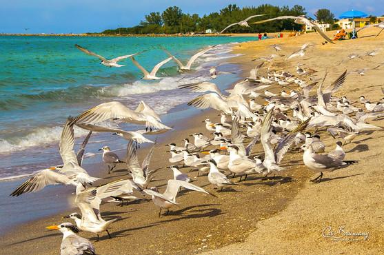 Venice Beach - Shorebirds