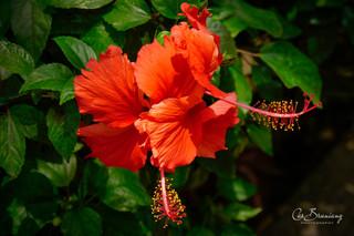 Hibiscuss7.jpg