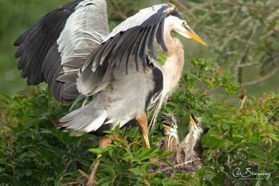Herons. Feeding time.