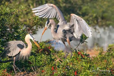 Team work. Herons building a nest.