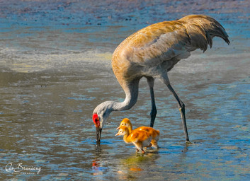 Sandhill Crane with new-hatched Colts