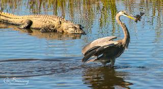 Great Blue Heron and Aligator