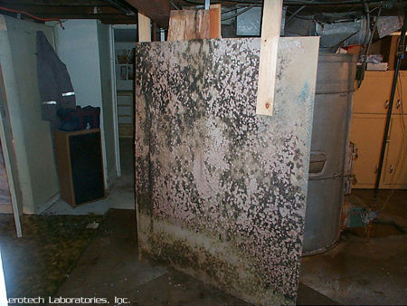 Drywall-panel-with-Stachybotrys-and-on-the-bottom-Aspergillus mold picture