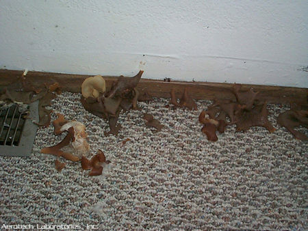 pictures of mold Mushrooms-growing-out-of-water-damaged-wood-and-carpeting