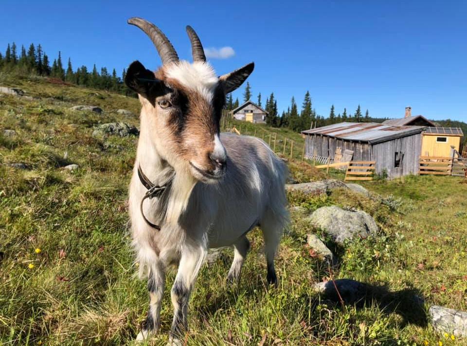 Bli kjent med geitene på Gardsetra i Synnfjell
