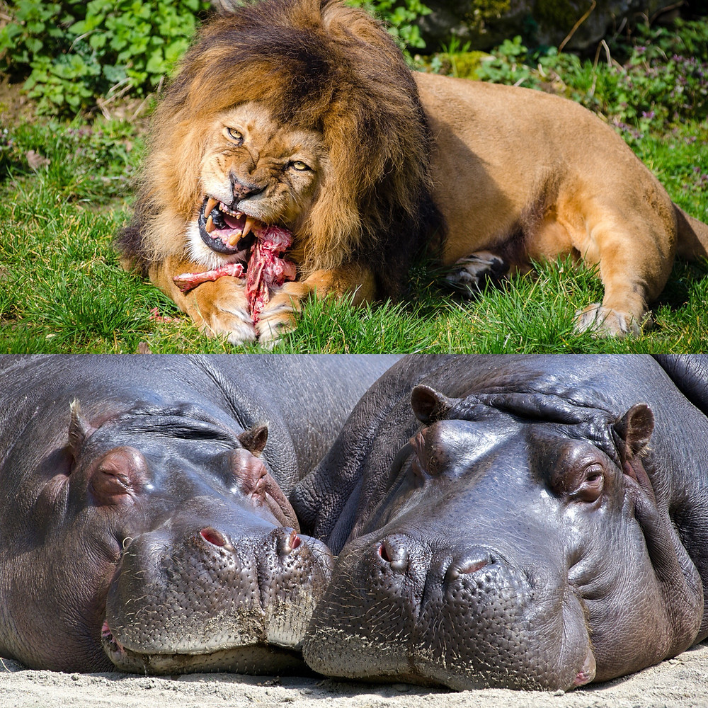 Lion and Hippos