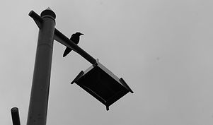 黑白乌鸦.jpg