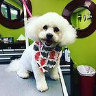 Dog ShihTzu Grooming