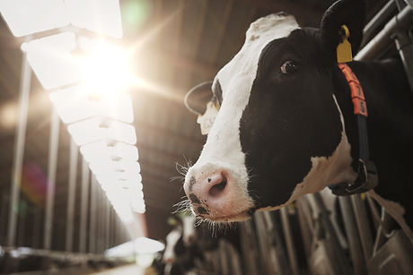 herd-of-cows-in-cowshed-on-dairy-farm-PU