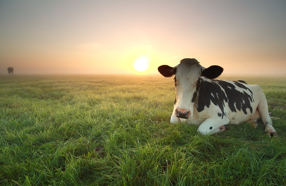 relaxed-cow-on-pasture-at-sunrise-PL6JCB