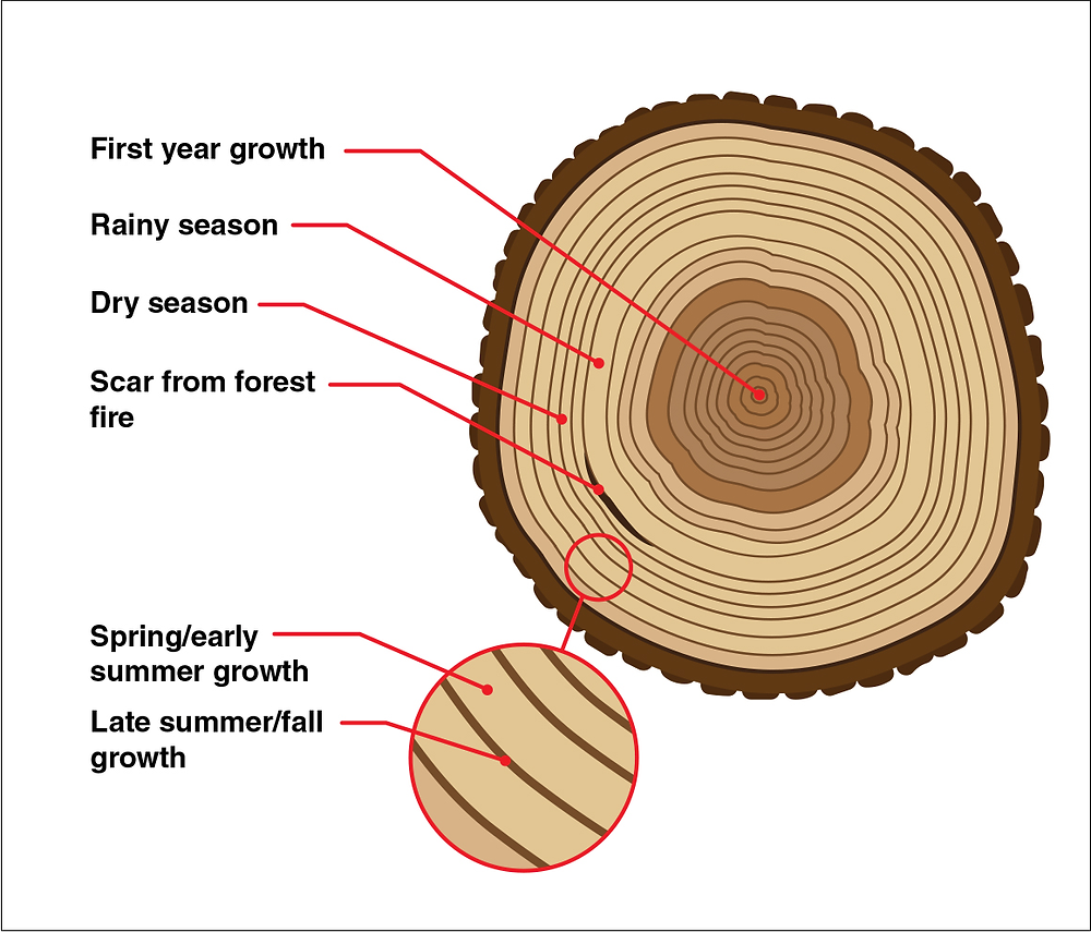 Tree growth rings illustration (from: https://climate.nasa.gov/news/2540/tree-rings-provide-snapshots-of-earths-past-climate/)