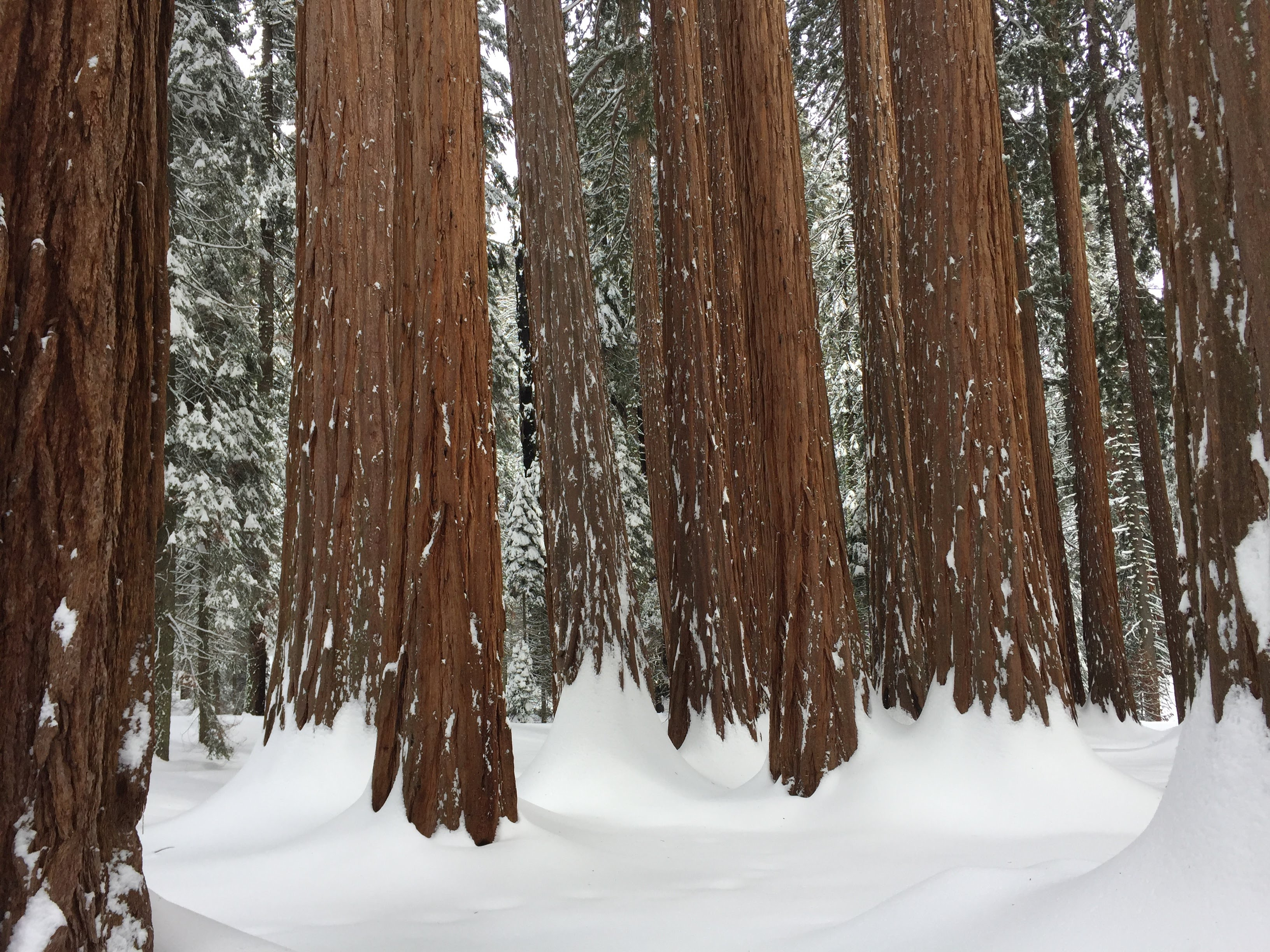 Winter Sequoias