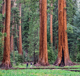 giant-tree-trail-sequoia-national-park.j