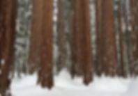 Winter Sequoias_edited.jpg