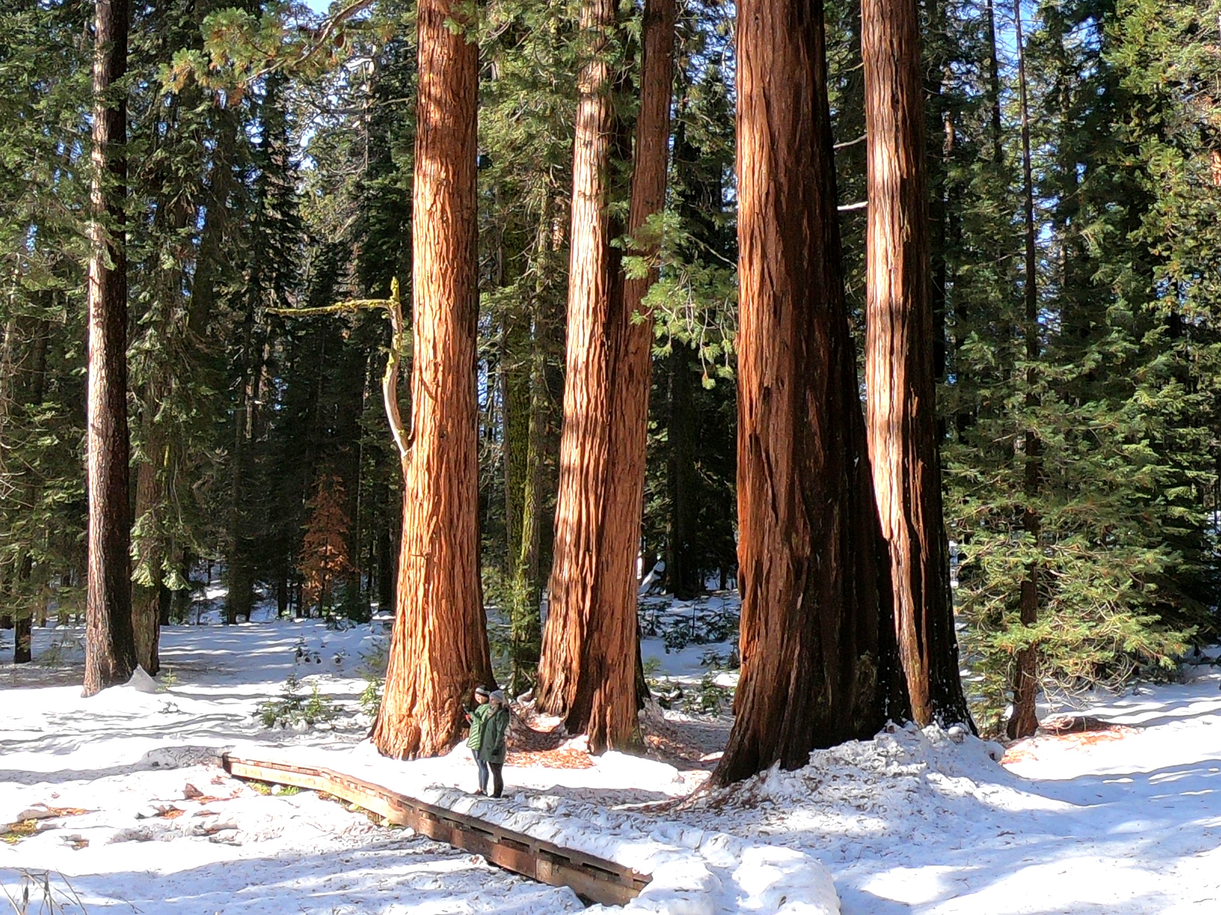 Snowy Sequoias - Big Trees Trail