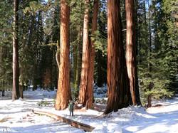 Snowy Sequoias - Big Trees Trail