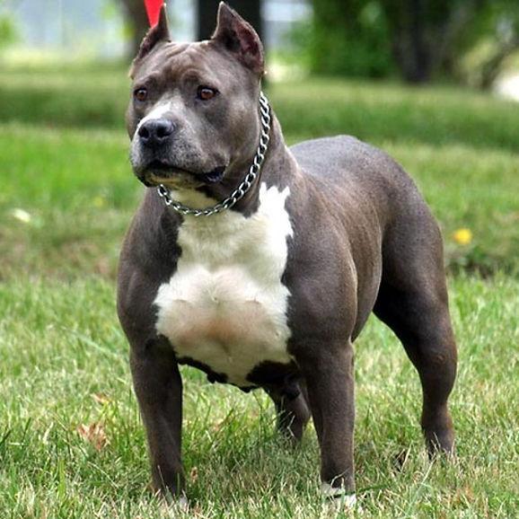 el-pitbull-es-un-perro-de-raza-fuerte-sana-inteligente-y-leal-aunque-tambien-hay-lugares-d