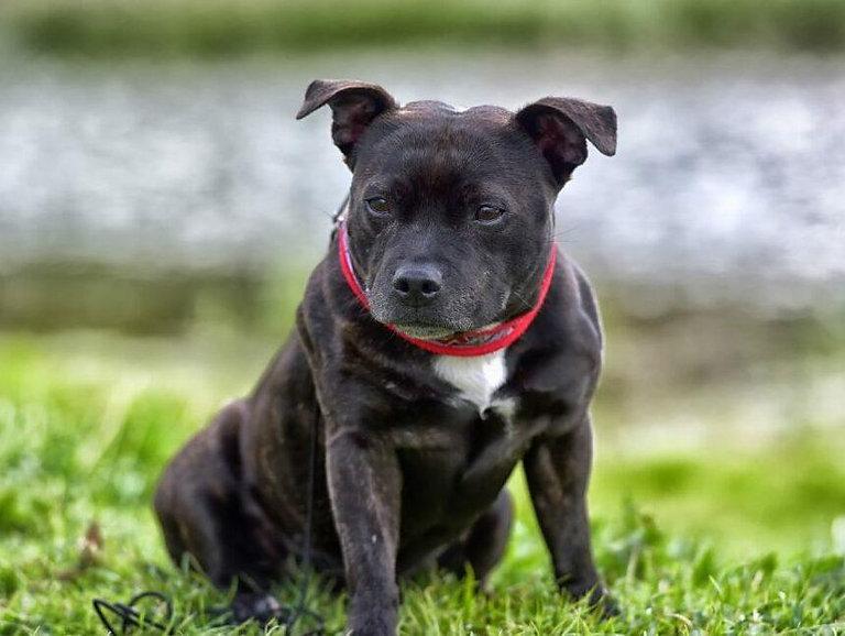 staffordshire-bull-terrier-1-min (1).jpg
