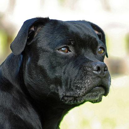 staffordshire-bull-terrier-min.jpg