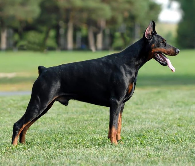 Doberman_Pinscher_with_cropped_ears_and_docked_tail-min.jpg