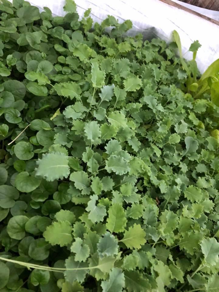 lettuce 2 .jpg
