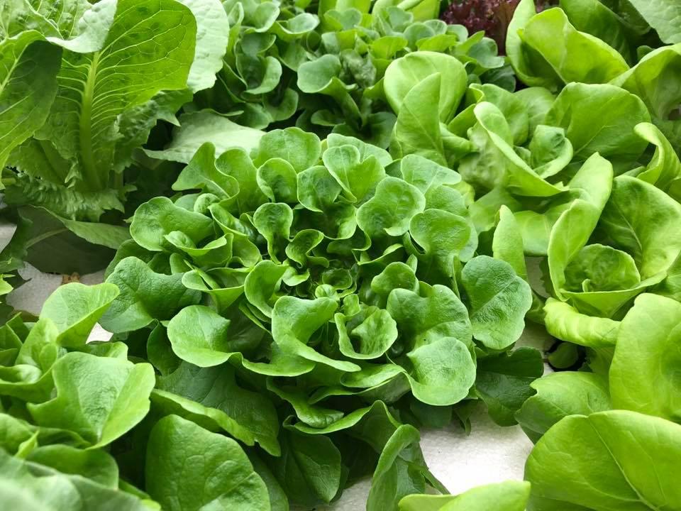 lettuce 3.jpg