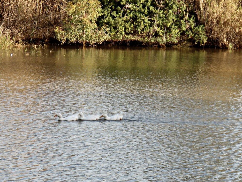 Nahal Poleg - Lake and Ducks