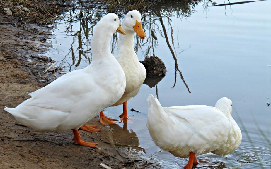 Nahal Poleg - Ducks