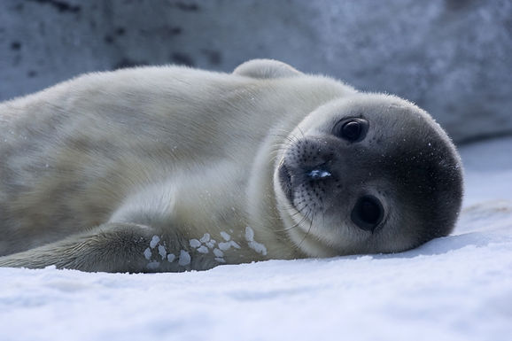 Weddell-seal-Baby.jpg