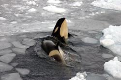Type B Orcas