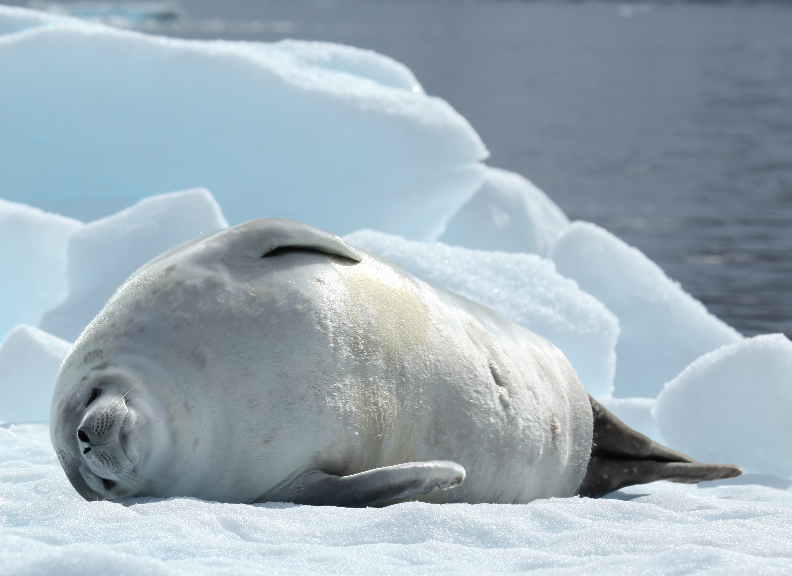 Lazy Crabeater Seal