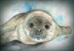 Weddell Seal Pup.jpg