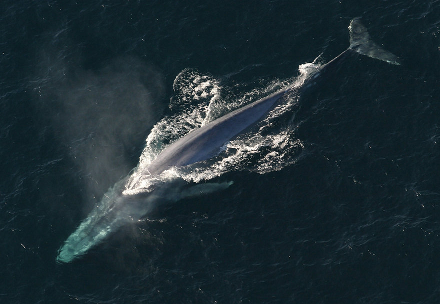 Blue-Whale-above.jpeg