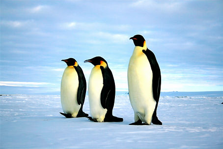 Emperor_penguins3_edited.jpg