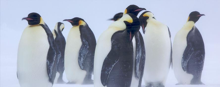 Emperor Penguins Blizzard.jpg